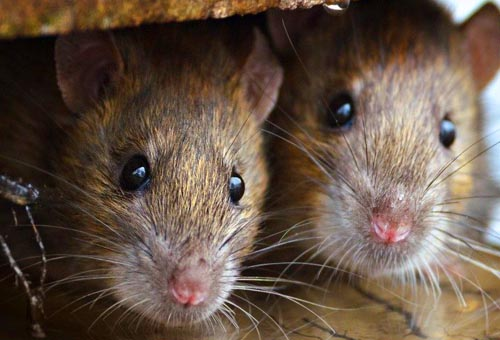 Rodent Control Canada